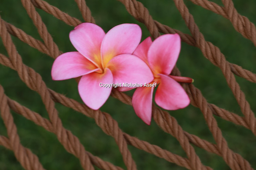 Pinks & Yellows of Frangipani flowers decorate a hammock on Oahu's North Shore