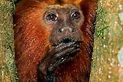 Golden Lion Tamarins (Leontopithecus rosalia) have long claws on all digits, except for the first digit of the hind limbs, helping them in safely climbing through the canopy of the rainforest. | Löwenäffchen (Leontopithecus rosalia) haben lange Krallen an allen Fingern und Zehen, mit Ausnahme des ersten Zehs der Hinterextremitäten. Diese Krallen ermöglichen das sichere Klettern an Ästen und Stämmen der Urwaldbäume.