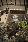 A red tailed hawk (Buteo jamaicensis) chick just about fledged in a nest, on a fire escape, in downtown Portland, Oregon.