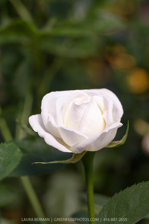 J.P. Connell Explorer Rose.