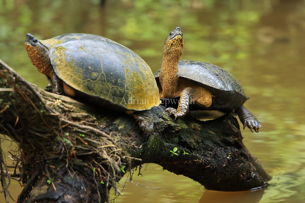 Black river turtles (Rhinoclemmys funerea) on natural rainforest canal. Tortuguero National Park, Costa Rica.