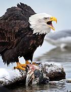 Bald Eagle with salmon, Chilkat Bald Eagle Preserve, Haines, Alaska