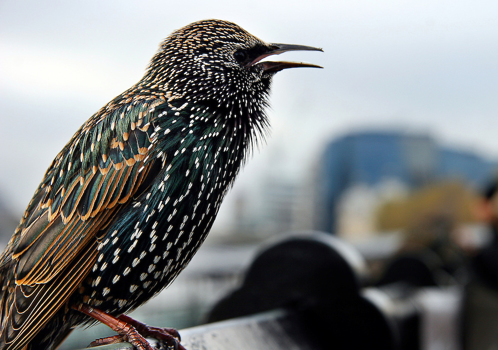 A bird opens its beak, chirping at passersby along the Thames River in London, England.