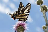 Papilio eurymedon - Pale Swallowtail