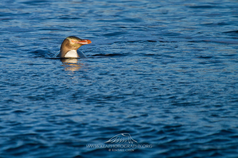 A Yellow-eyed Penguin surfaces off the coast of Stewart Island, New Zealand