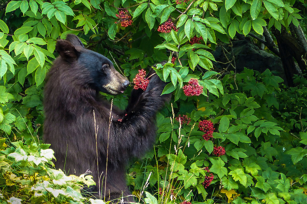 A black bear feasts on elderberries in Southeast Alaska