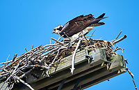An Osprey (Pandion haliaetus) sittiing on a nest, Hydro power station, Annapolis River, Annapolis Royal, Nova Scotia, Canada,
