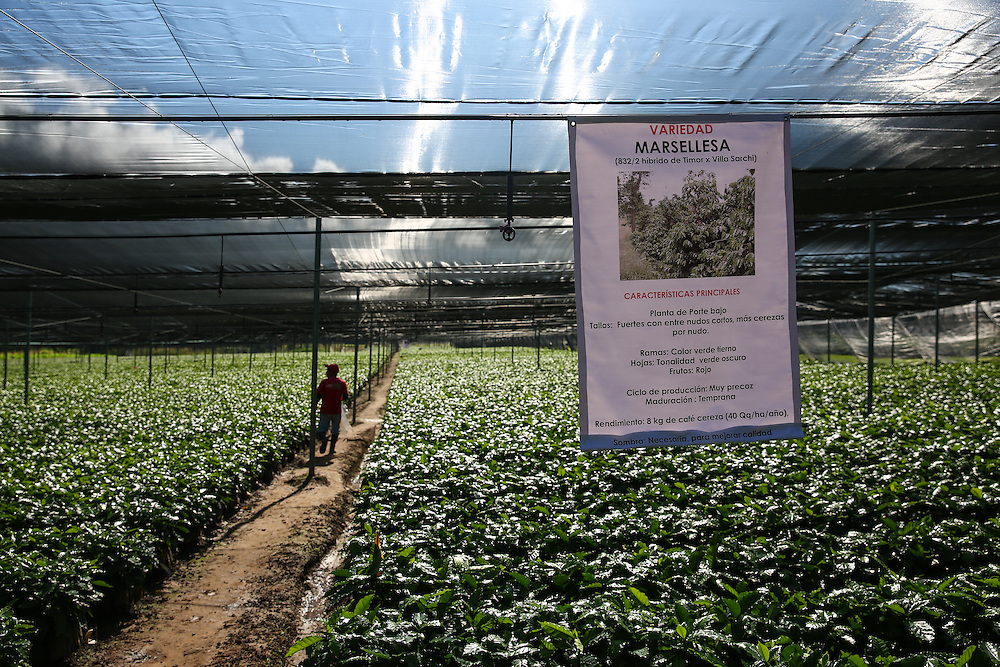 Young trees, of the marsellesa variety, are shown in the Jaltenango coffee tree nursery in Chiapas, Mexico. (Joshua Trujillo, Starbucks)