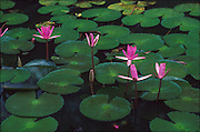Lotus pond with five blooms.