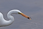 Great Egret with Catch.  A small crustacean from the shores of Lake Murray.