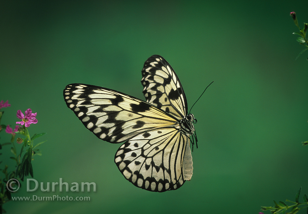 A paper white butterfly (Idea leuconoe), photographed with a high-speed camera at the Pacific Science Center butterfly exhbit in Seattle.