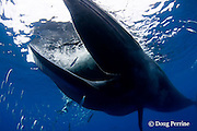 Bryde's whale, Balaenoptera brydei or Balaenoptera edeni, feeding on baitball of sardines, Sardinops sagax, off Baja California, Mexico ( Eastern Pacific Ocean ); photographer Nathan Meadows in background