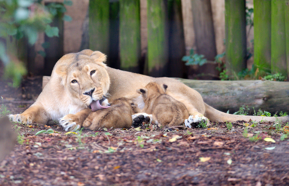 London  August 13 Photocall at ZSL Londoon Zoo for first lions cubs for a decade making their debut.  It is the first time in 10 years that  two Asian Lion Cubs have been born at the capital Zoo...Standard Licence feee's apply  to all image usage.Marco Secchi - Xianpix tel +44 (0) 845 050 6211 .e-mail ms@msecchi.com .http://www.marcosecchi.com