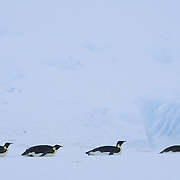 Emperor Penguin (Aptenodytes forsteri) adults sliding on their bellies on the Riiser Larsen Ice Shelf in Antarctica.