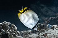 Vagabond butterflyfish-Poisson-papillon vagabond (Chaetodon vagabundus)