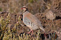 Chukar photo Hawaii