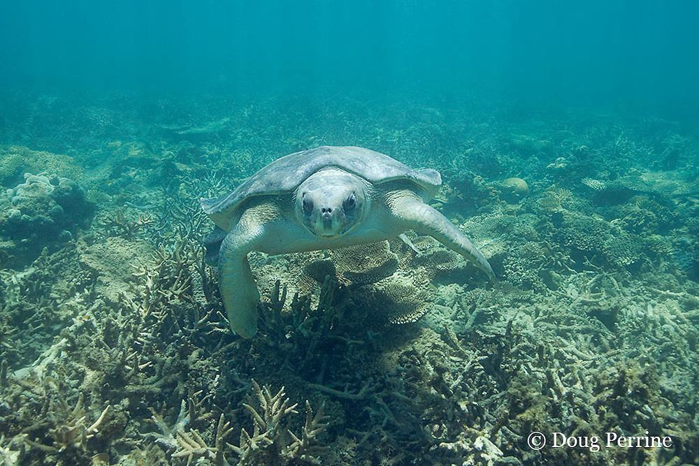 Australian flatback sea turtle, Natator depressus, endemic to Australia and southern New Guinea, swims over coral reef, Australia