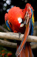 A red Macaw preens at the San Diego Zoo