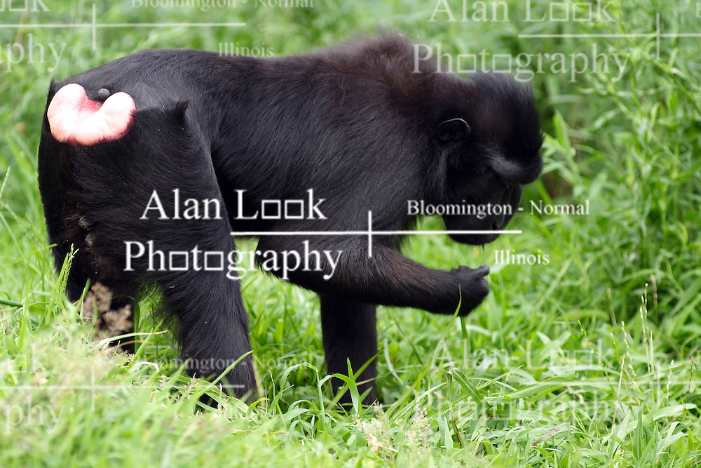 24 July 2005.  <br /> Sulawesi Macaque.<br /> Memphis Zoo.  Memphis TN (Photo by Alan Look)