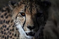 NAMIBIA KAMANJAB 27APR14 - A cheetah prowls though a large enclosure at the Ojitotongwe Cheetah farm near Kamanjab, Namibia.<br /> <br /> <br /> <br /> jre/Photo by Jiri Rezac<br /> <br /> <br /> <br /> &copy; Jiri Rezac 2014