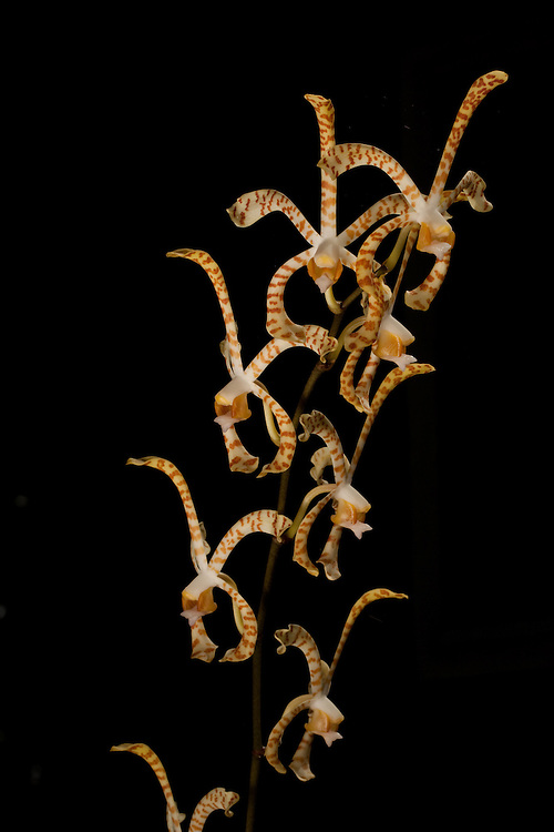 Spider orchid, Dendrobium sp. against a black background