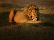 Male lion resting in Ndutu area of northern Tanzania.