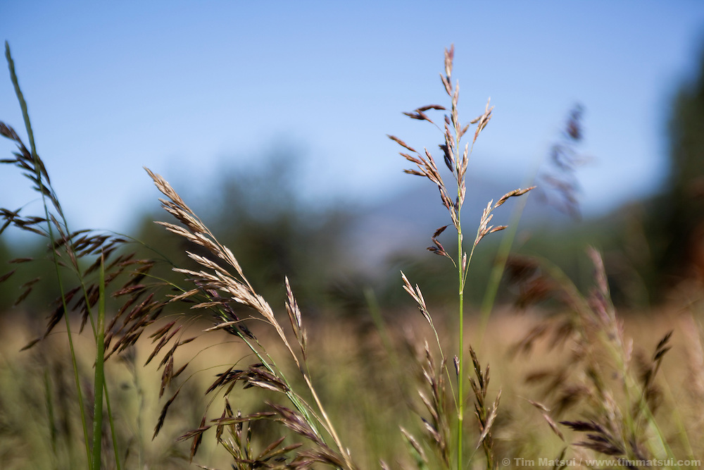 A closeup of tall grass in a sunny, rural field.