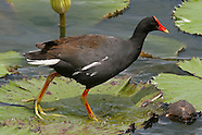 Hawaiian Gallinule or Moorhen photos