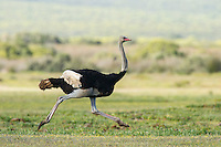 Male ostrich running in full stride, De Hoop Nature Reserve, Western Cape, South Africa