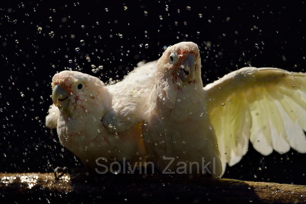 [captive] Goffin's cockatoos (Cacatua goffiniana) are getting sprayed with a garden hose. Goffin's cockatoos or Tanimbar Corellas are endemic to the Tanimbar archipelago in Indonesia. Research on their cognitive abilities is done in the Goffin Lab (Lower Austria) by Dr. Alice M. I. Auersperg.   Goffinkakadus (Cacatua goffiniana) werden mit einem Gartenschlauch besprüht. Der Goffinkakadu ist eine Papageienart und kommt in freier Wildbahn ausschließlich auf der indonesischen Inselgruppe Tanimbar vor. Forschung zu kognitiven Fähigkeiten des Goffinkakadus wird im Goffin Lab (Niederösterreich) von Dr. Alice M. I. Auersperg durchgeführt.