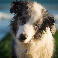 Blue Merle Collie Dogs