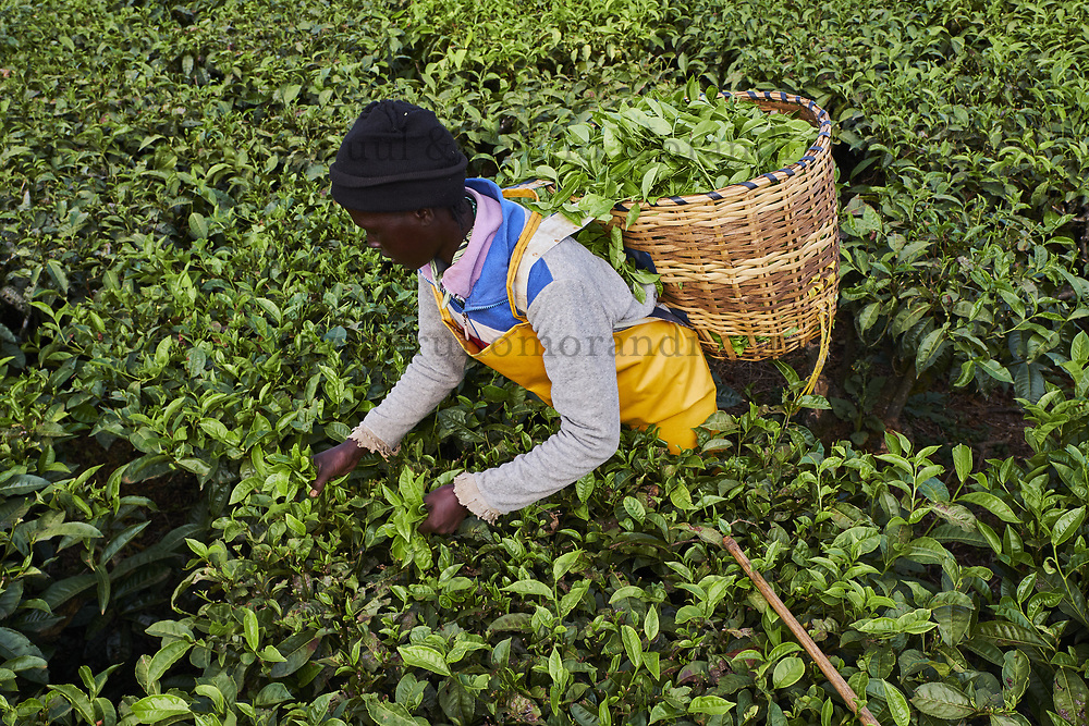 Kenya, Kericho county, Kericho, cueillette du thé, Evaline Chebe 35 ans // Kenya, Kericho county, Kericho, Evaline CHebe, 35 old, tea picker picking tea leaves