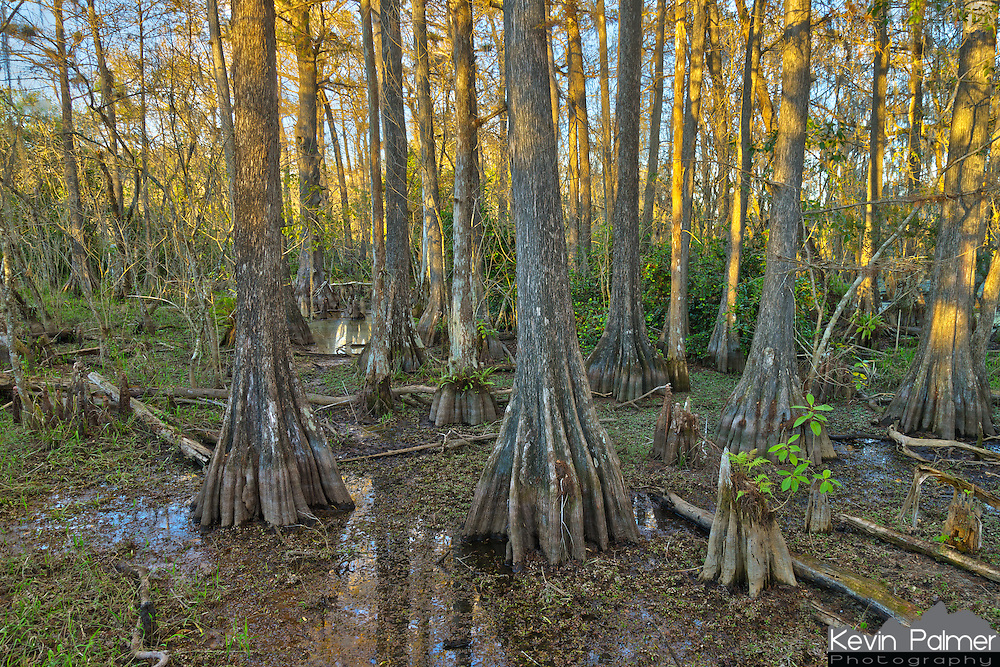 These trees are what Big Cypress National Preserve is named after. It was the dry season so the water level wasn't very high.<br /> <br /> Date Taken: 12/14/2014