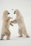 Canada. Churchill, Manitoba. Polar bears (Ursus maritimus) playing.