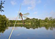 Brown Hawker Dragonfly - Aeshna grandis. Freshly emerged.