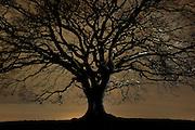 Moonlight oak. Nauroth, Germany | Obwohl es sich bei der Doppel-Stieleiche (Quercus robur) in Nauroth um zwei Bäume handelt, zeigt die gesamte Wuchsform die typischen Merkmale einer einzelnen, freistehend gewachsenen Eiche: der auffallend kurzen Stamm geht in eine Vielzahl starker Äste über, die insgesamt eine beeindruckend breite Krone bilden.