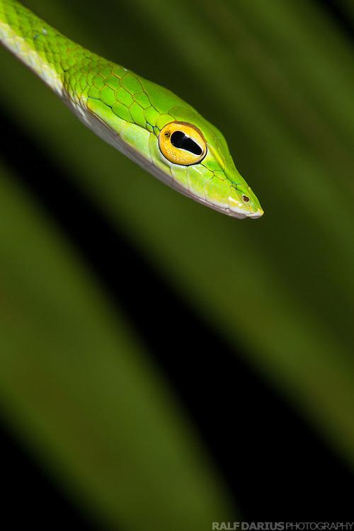 Oriental Whipsnake or Asian Vine Snake (Ahaetulla prasina) - Ulu Temburong, Brunei (Borneo)