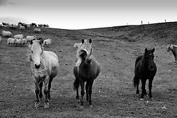 Horses at Hunsstadir, north of Iceland - Hestar við Húnsstaði