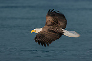 Bald eagle in gliding flight over surface of ocean water, © 2005 David A. Ponton