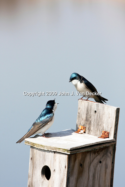Tree Swallows talking