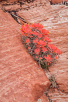 A desert specialist, the Eastwood paintbrush thrives in the cracks in canyon walls of Zion National Park, and blooms a vibrant scarlet in the springtime.