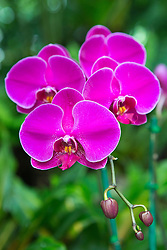 Hot pink magenta purple orchids