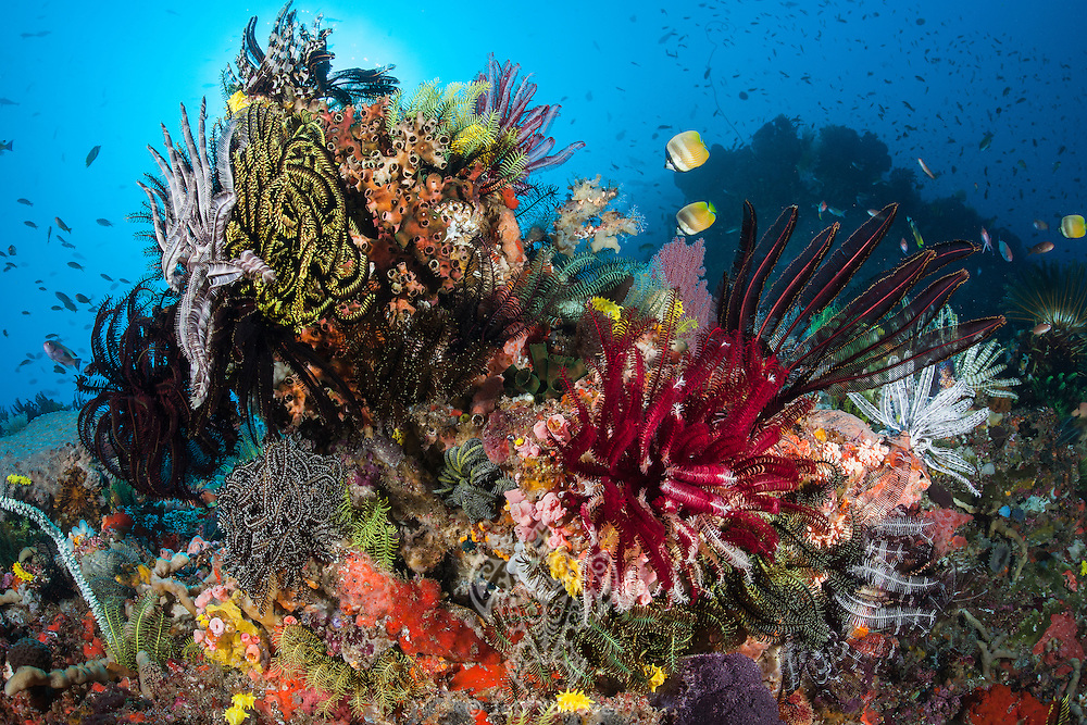 Crinoids, Sponges, and Reef Fish<br /> <br /> Shot in Indonesia