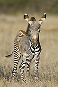 Grevy's Zebra<br /> Equus grevyi<br /> Young foal<br /> Lewa Wildlife Conservancy, Northern Kenya