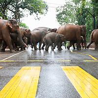 Elephants crossing, Sri Lanka