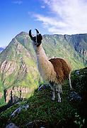 Llama in Andes near Machu Picchu - Peru
