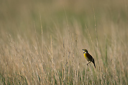 A male dickcissel, in breeding plumage, perches on several blades of prairie grass at the Tallgrass Prairie National Preserve in the Flint Hills in Kansas. Singing dickcissels are commonly heard on the prairie. Dickcissels winter far south of their summer breeding areas in the midwest, typically migrating in large flocks to Mexico, Central America, and northern South America. The 10,894-acre Tallgrass Prairie National Preserve is located in Chase County near the towns of Strong City and Cottonwood Falls. Less than four percent of the original 140 million acres of tallgrass prairie remains in North America. Most of the remaining tallgrass prairie is in the Flint Hills in Kansas. Tallgrass Prairie National Preserve is the only unit of the National Park Service dedicated to the preservation of the tallgrass prairie ecosystem. The Tallgrass Prairie National Preserve is co-managed with The Nature Conservancy.