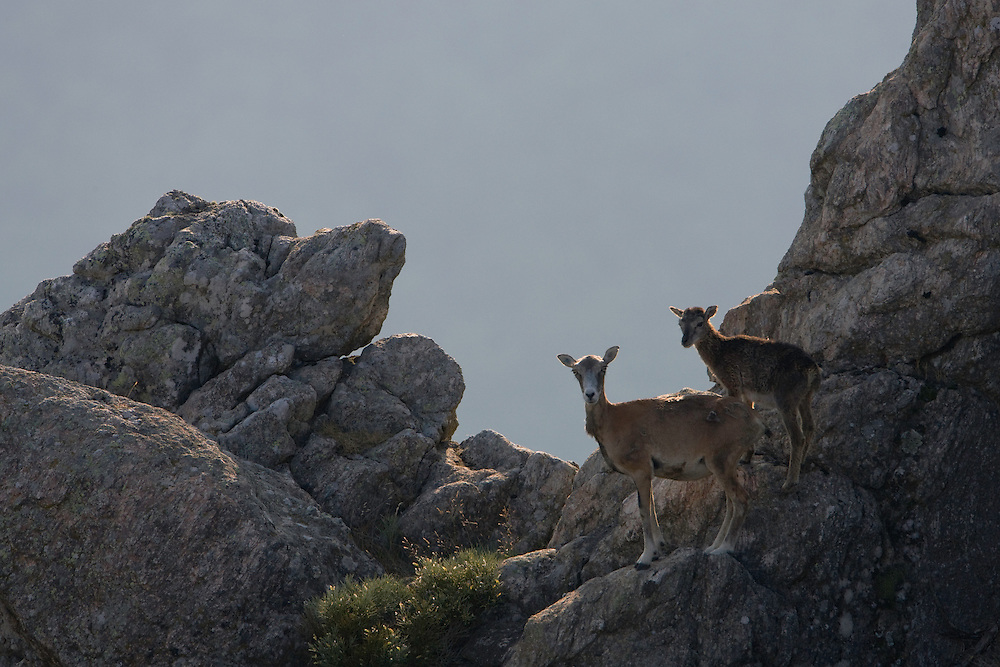 Mouflon/Ovis musimon/female with juvenile/Parc naturel regional du Haut-Languedoc/Caroux/France