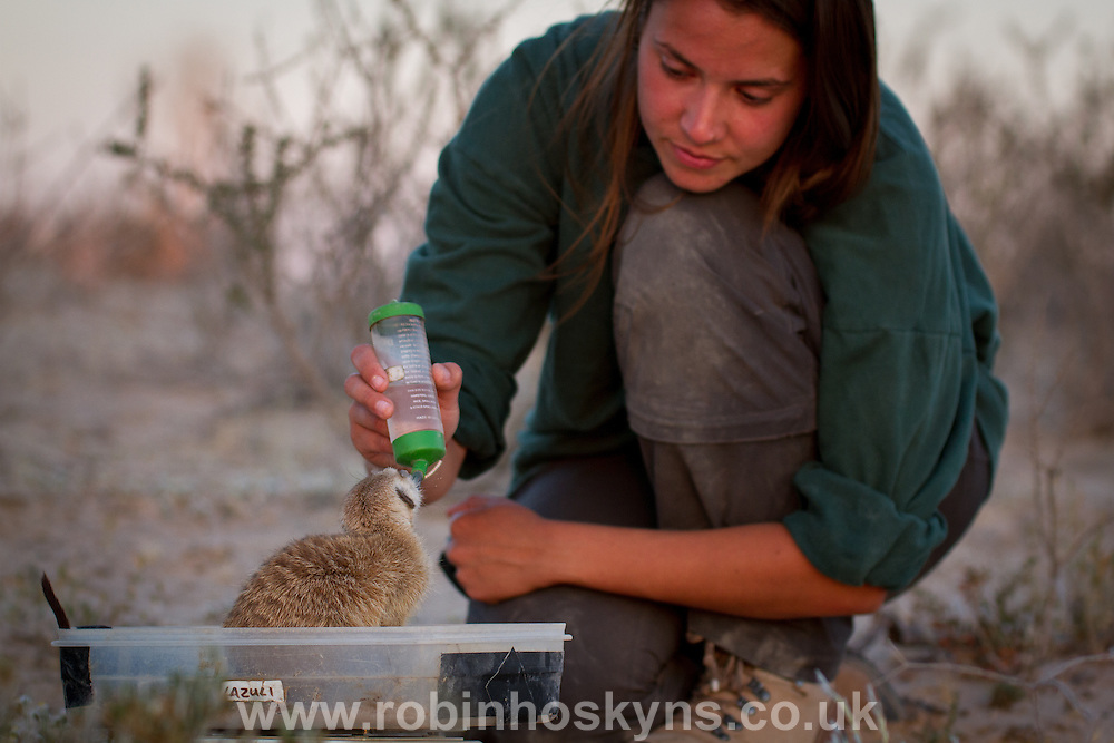 A researcher gives a drop of water to a thirsty meerkat in order to obtain a reading of its weight.