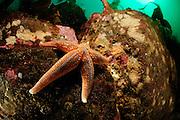 Common Starfish or Common Sea Star  (Asterias rubens), Atlantic Ocean, Strømsholmen, North West Norway | Gemeine Seestern (Asterias rubens),  Atlantischer Ozean, Strømsholmen, Nordwestküste von Norwegen